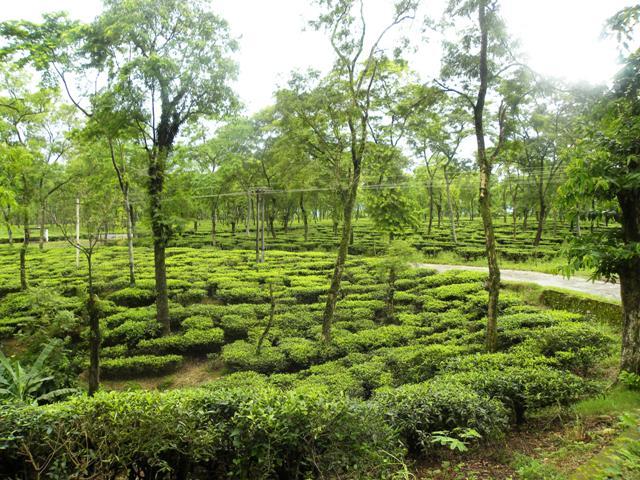 Tea territory @ Dooars in Jalpaiguri